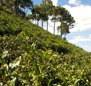 Vietnamese green tea plantation