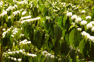 Coffee plantation in the central highlands of Vietnam