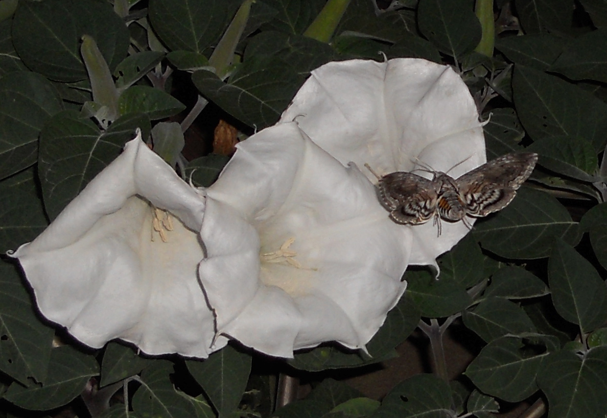 The Moonflower And Hummingbird Moth Agwired