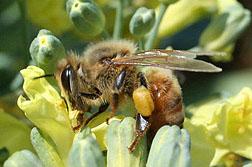 honeybee100429